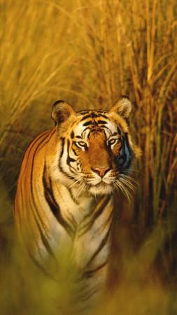 Тигр обои животные дикие тигр морда