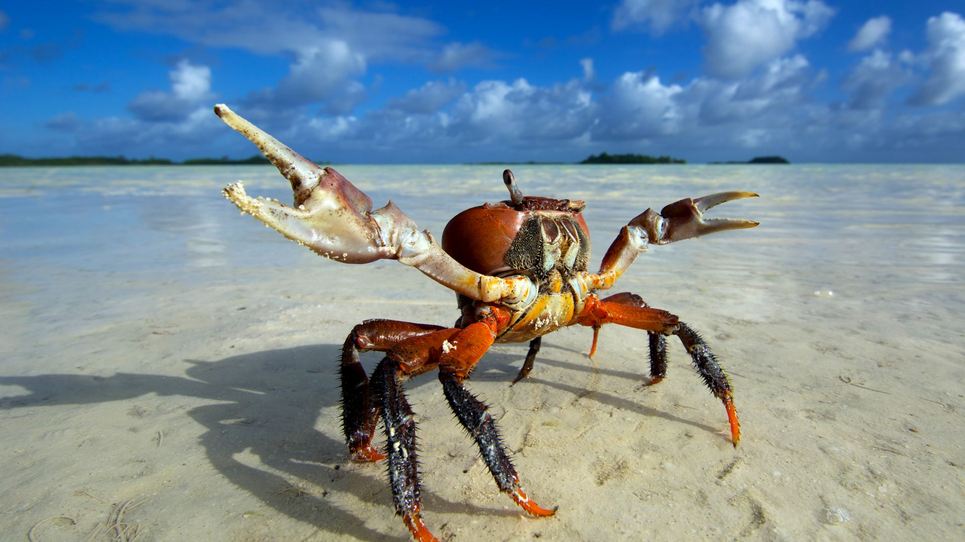 Pictures of human crabs