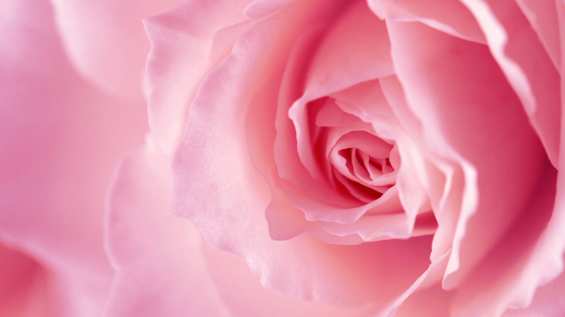 цветок, роза, flower, rose, pink, 4k (horizontal)