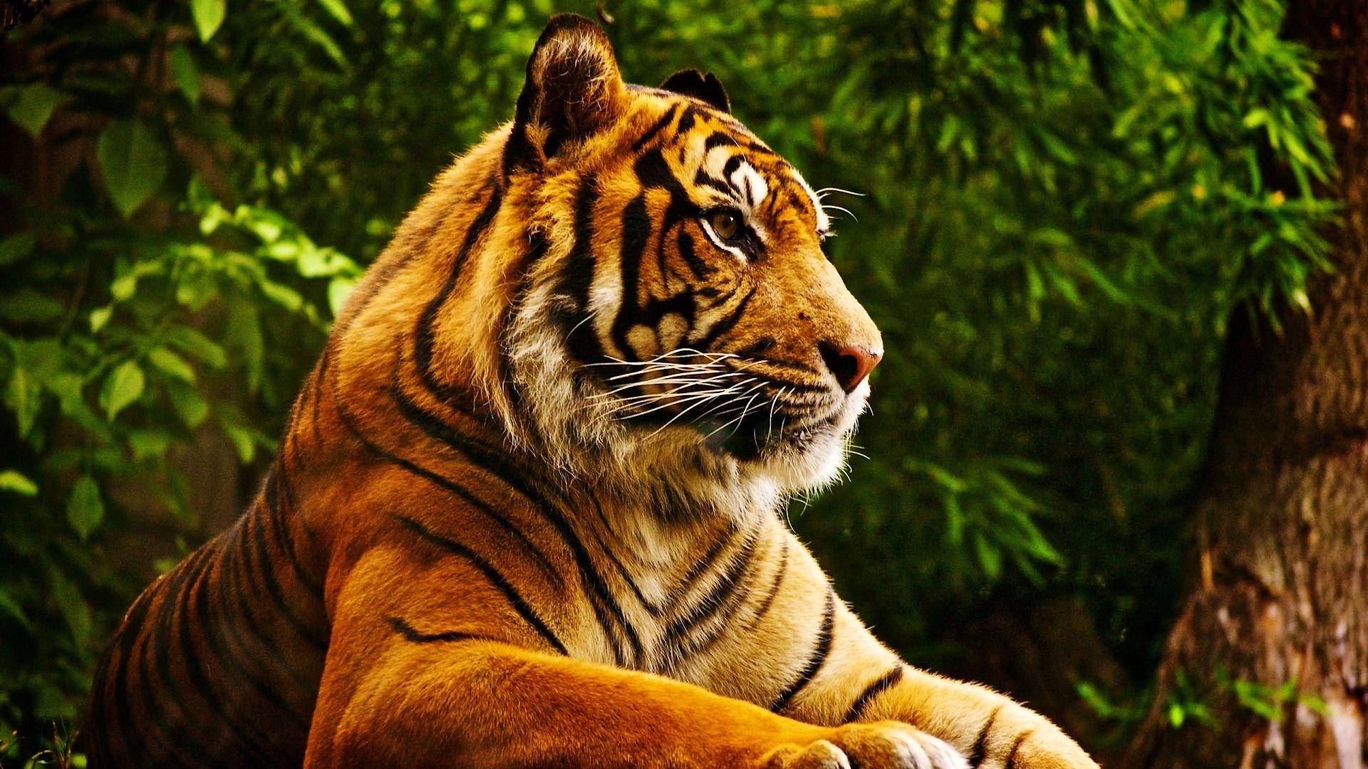 капканы картинки для планшета тигр голливуда прославился только
