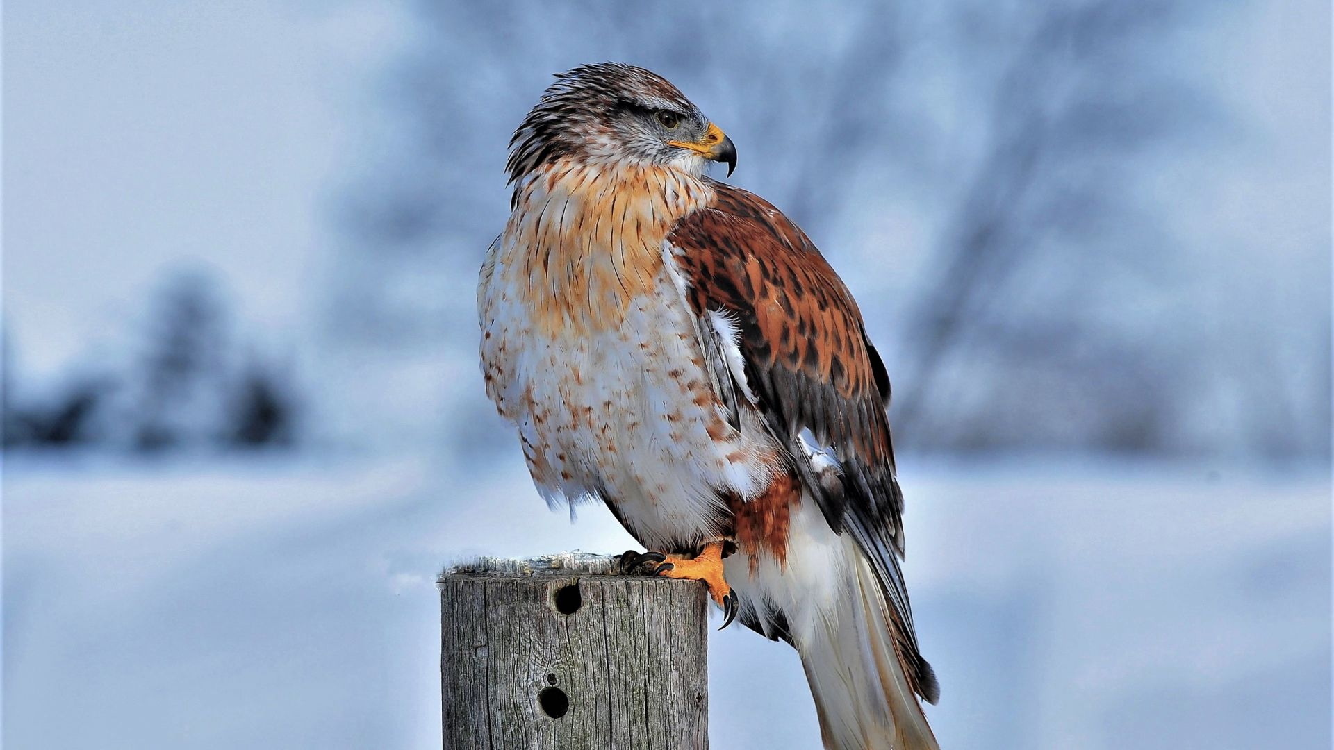 Королевский ястреб, Ferruginous Hawk, bird, winter, snow, 4K (horizontal)