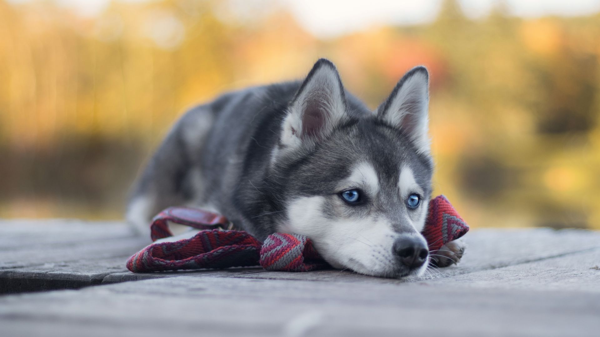 Хаски, собака, Husky, dog, cute animals, 4K (horizontal)