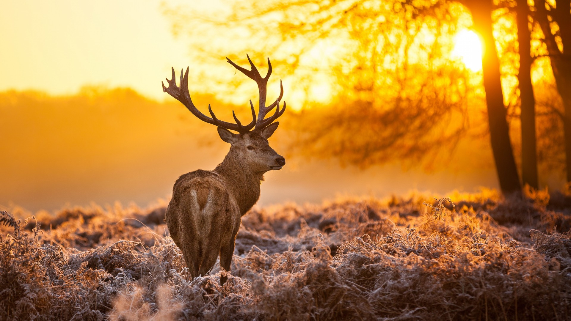 Олень, 4k, HD, природа, дикая, закат, зима, Deer, 4k, HD wallpaper, wild, sun, yellow, nature, winter (horizontal)
