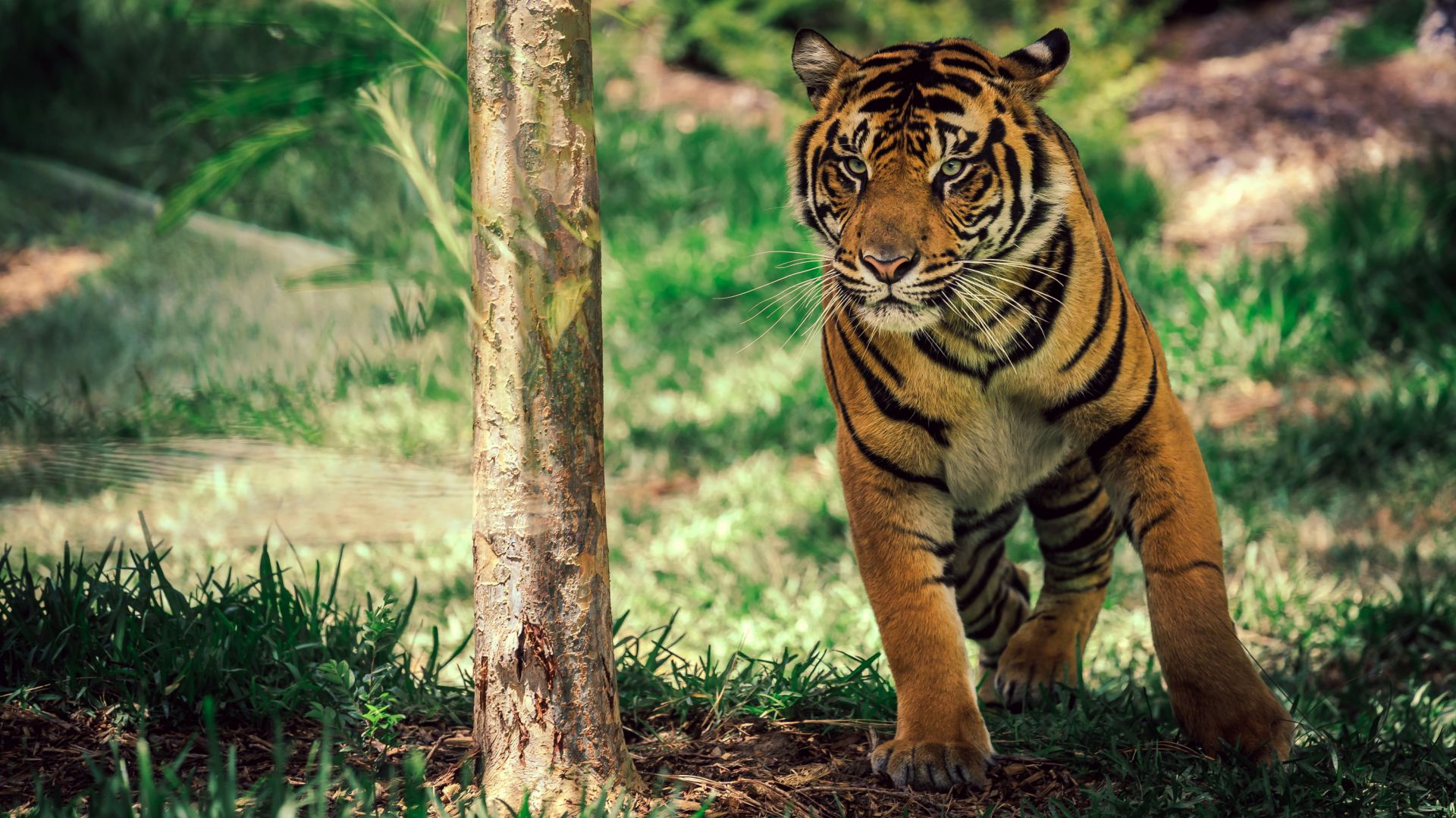 Bengal tiger wallpaper widescreen