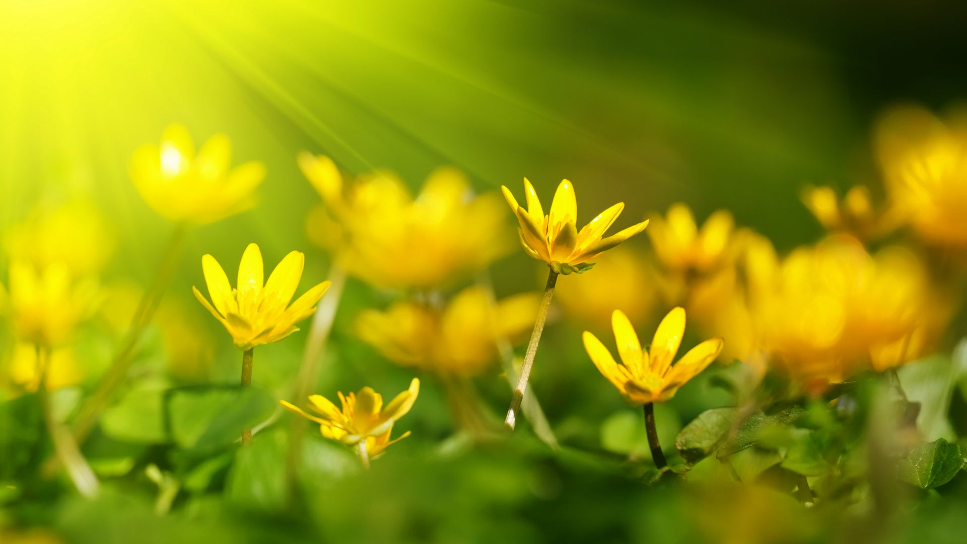 Цветы, 5k, 4k, желтый, зеленая трава, Flowers, 5k, 4k wallpaper, 8k, sunray, yellow, green grass (horizontal)