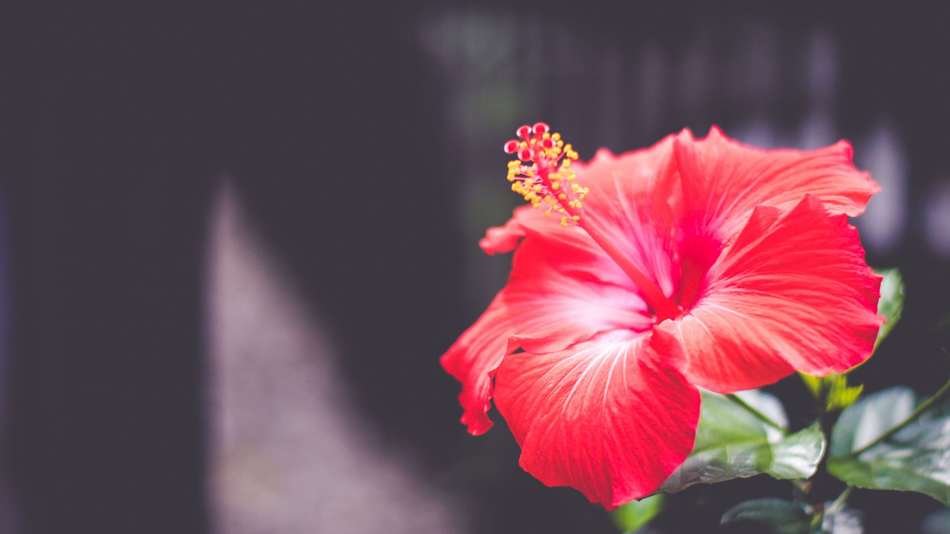 Цветы, 5k, 4k, Гибискус, красный, Flowers, 5k, 4k wallpaper, Hibiscus, red (horizontal)