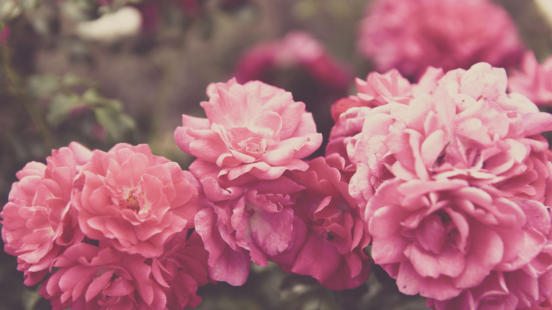 Розы, 4k, 5k, цветы, розовый, Roses, 4k, 5k wallpaper, 8k, flowers, pink (horizontal)
