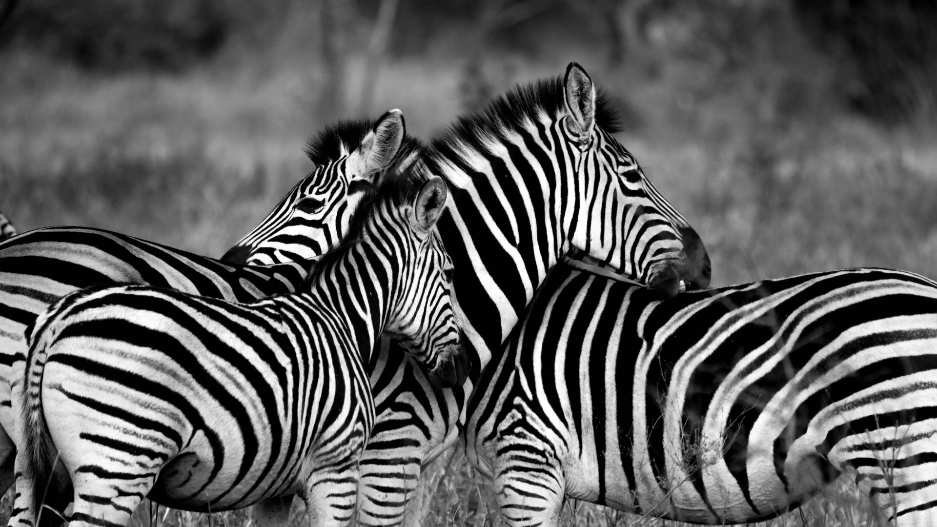 Зебра, Zebra, Black & White (horizontal)