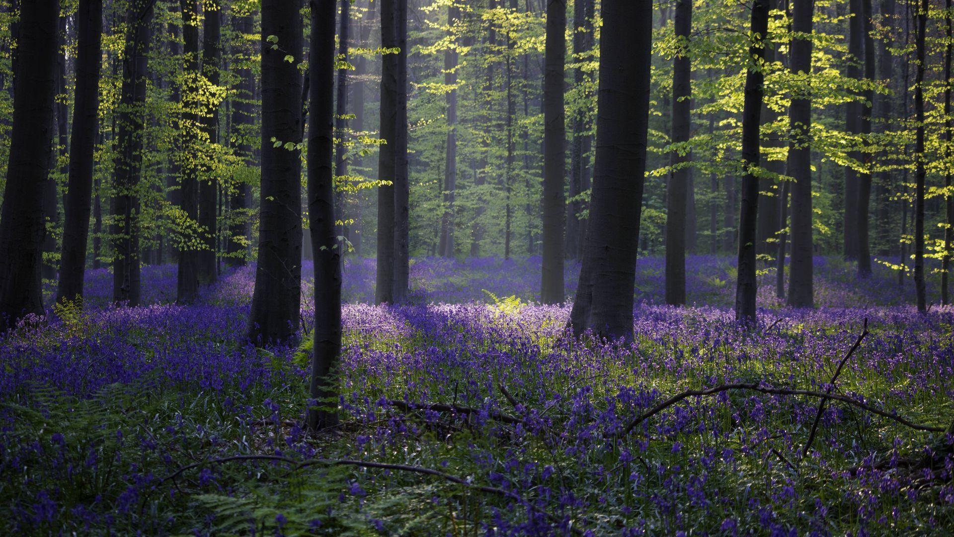 Обои лес колокольчик подснежник весна бельгия 4k 5k