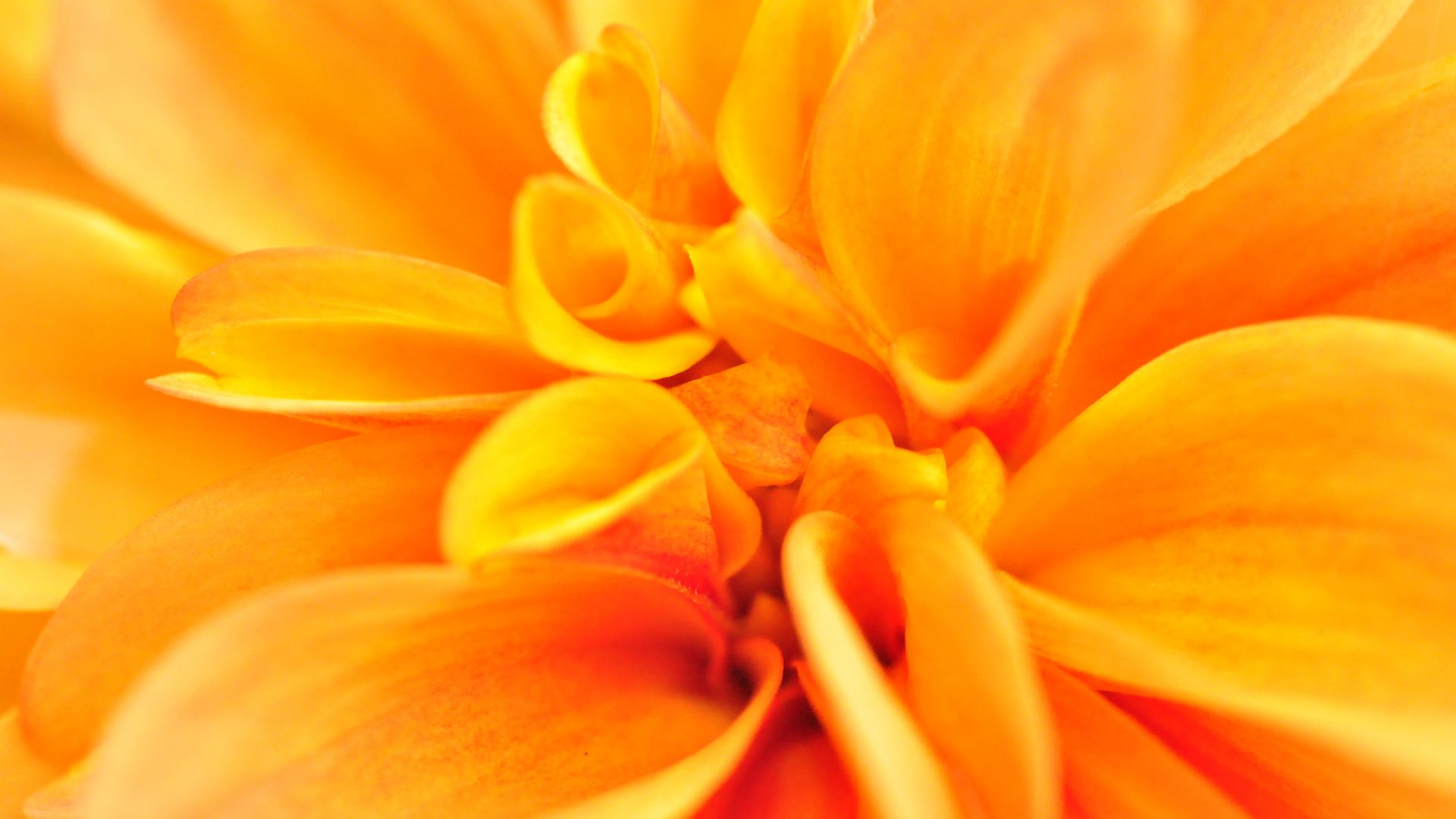 макро, цветок, macro, flower, orange, 4k (horizontal)