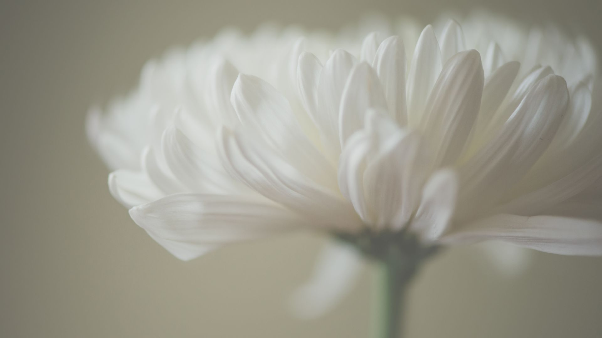 Астра, 5k, 4k, макро, лепестки, белый, Aster, 5k, 4k wallpaper, macro, petals, white (horizontal)