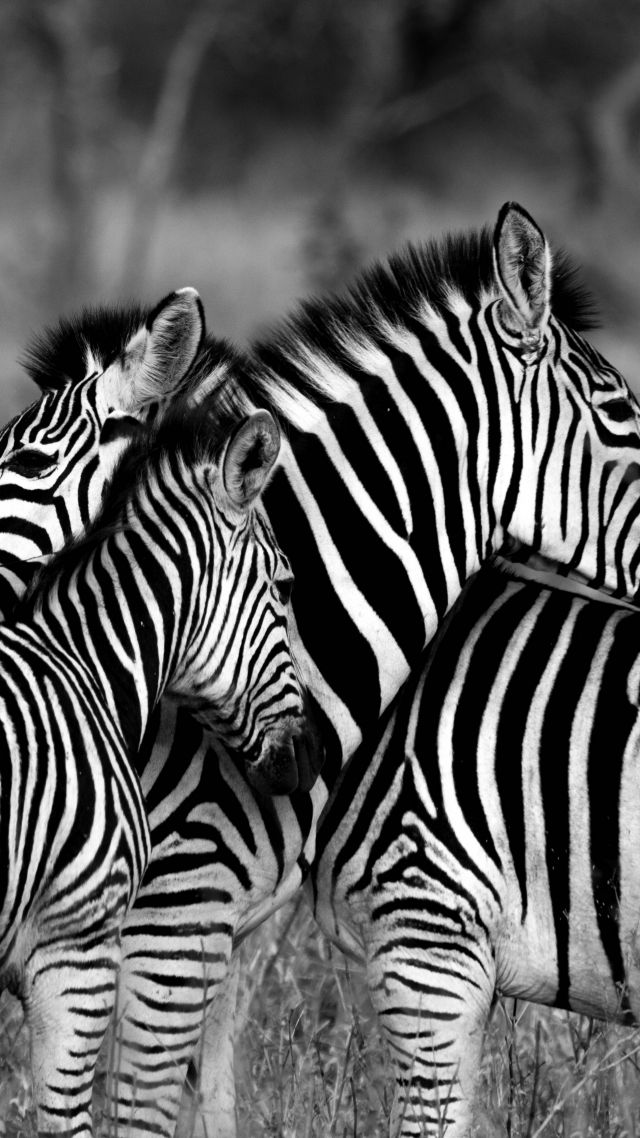 Зебра, Zebra, Black & White (vertical)