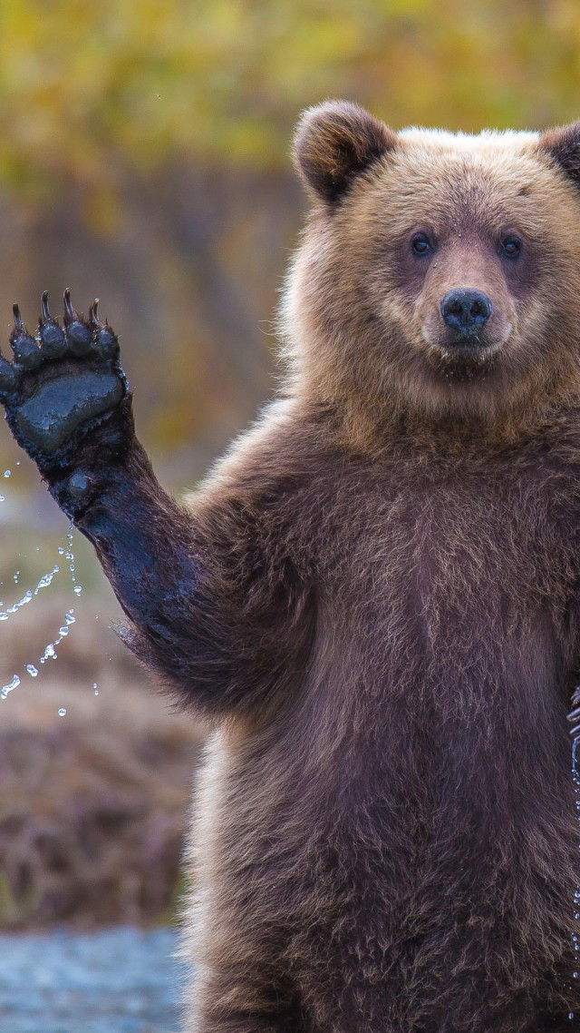 медведь, 4k, HD, привет, смешные, National Geographic, река, Bear, 4k, HD wallpaper, Hi, Water, National Geographic, Big (vertical)