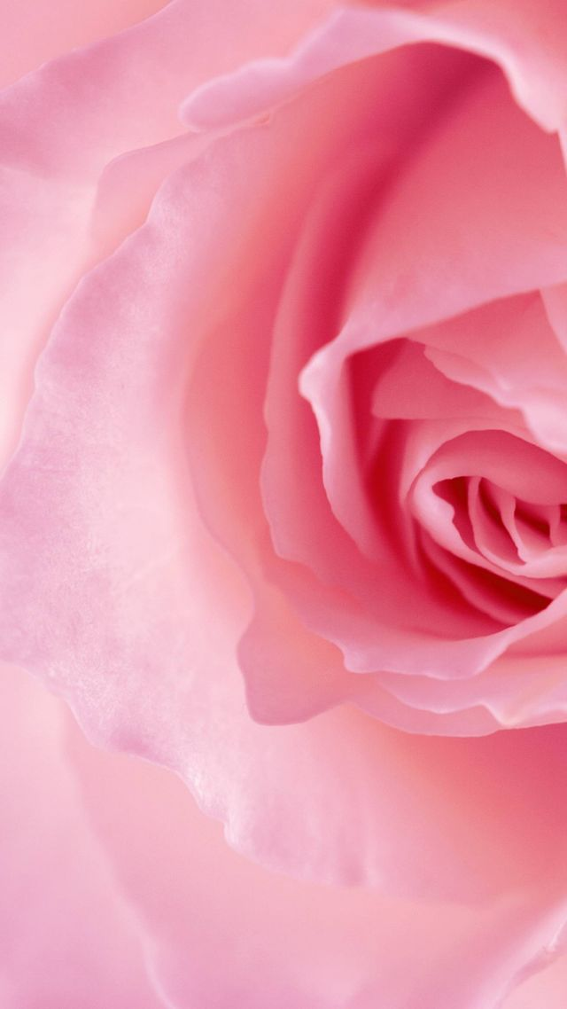 цветок, роза, flower, rose, pink, 4k (vertical)