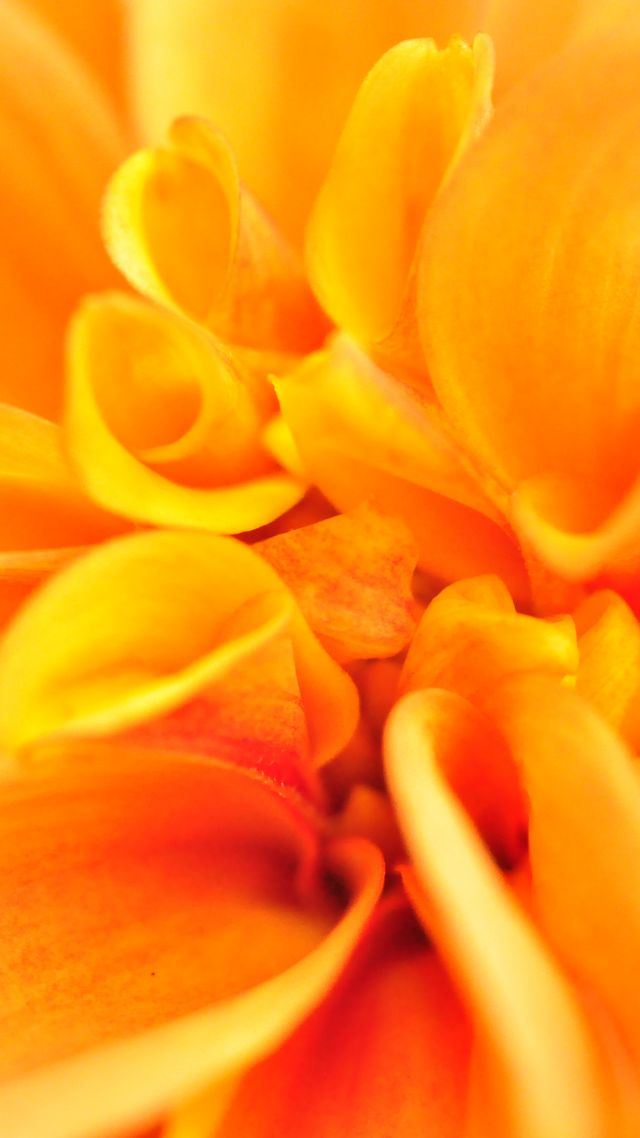 макро, цветок, macro, flower, orange, 4k (vertical)
