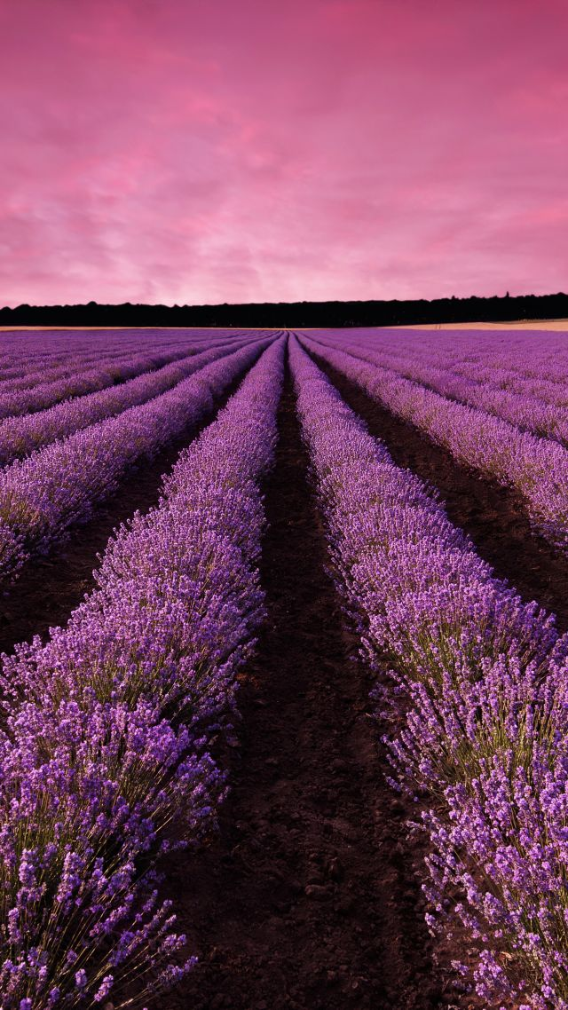 лаванда, поле, Прованс, Франция, lavender, field, sky, mountain, Provence, France, Europe, 5k (vertical)