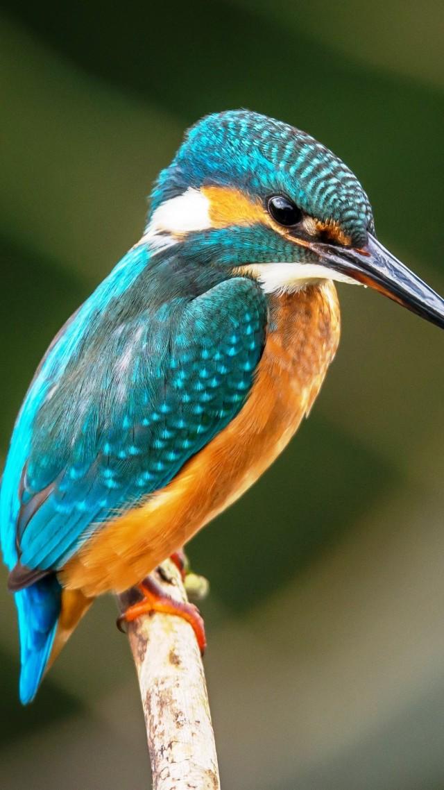 Обои птица kingfisher bird 4k Животные 17837