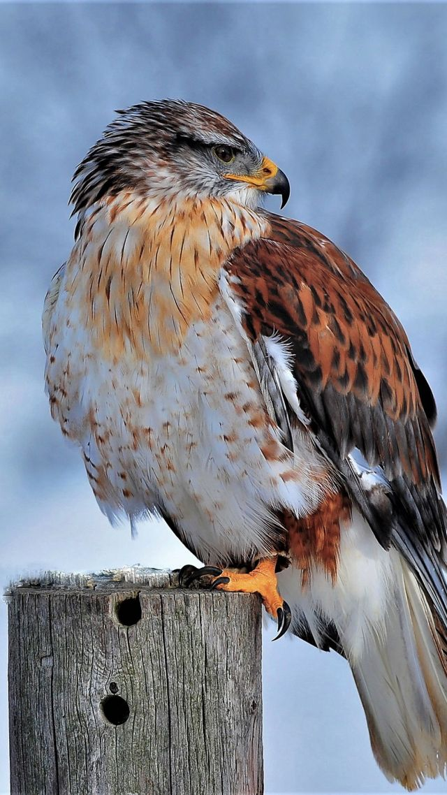 Королевский ястреб, Ferruginous Hawk, bird, winter, snow, 4K (vertical)