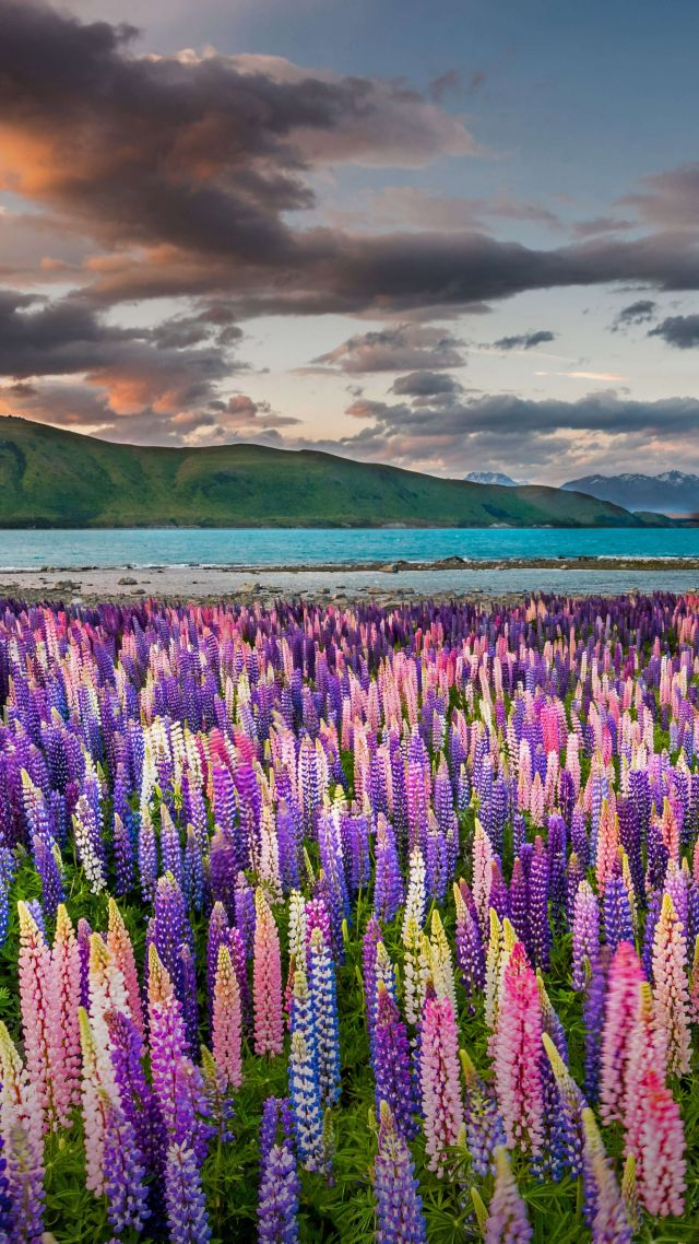 flowers, Tekapo, New Zealand, Bing, Microsoft, 5K (vertical)
