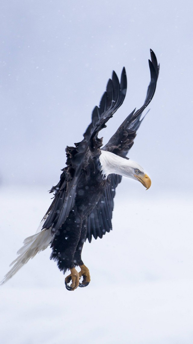Орел, Аляска, полет, зима, снег, Eagle, Alaska, flight, winter, snow, National Geographics