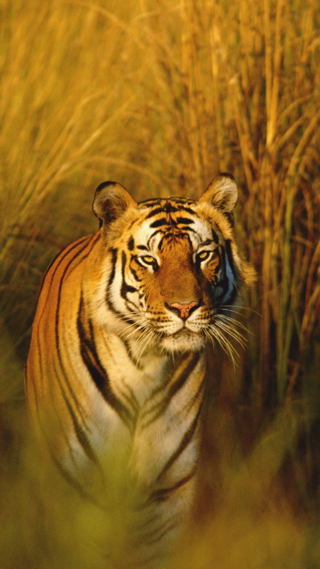 our national animal tiger