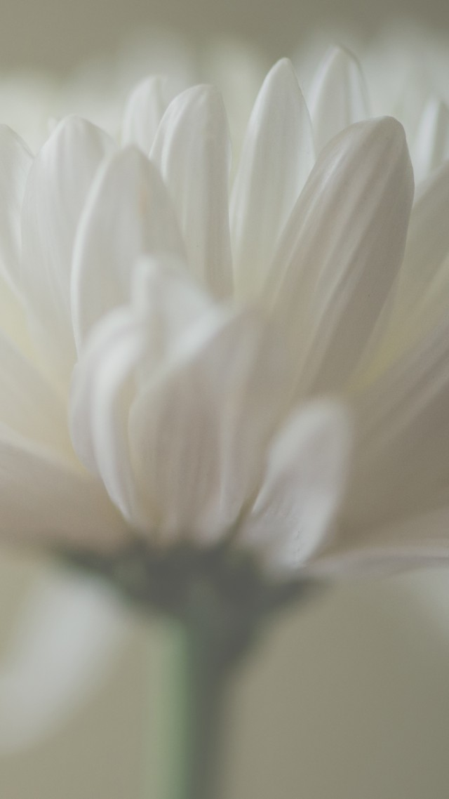 Астра, 5k, 4k, макро, лепестки, белый, Aster, 5k, 4k wallpaper, macro, petals, white (vertical)