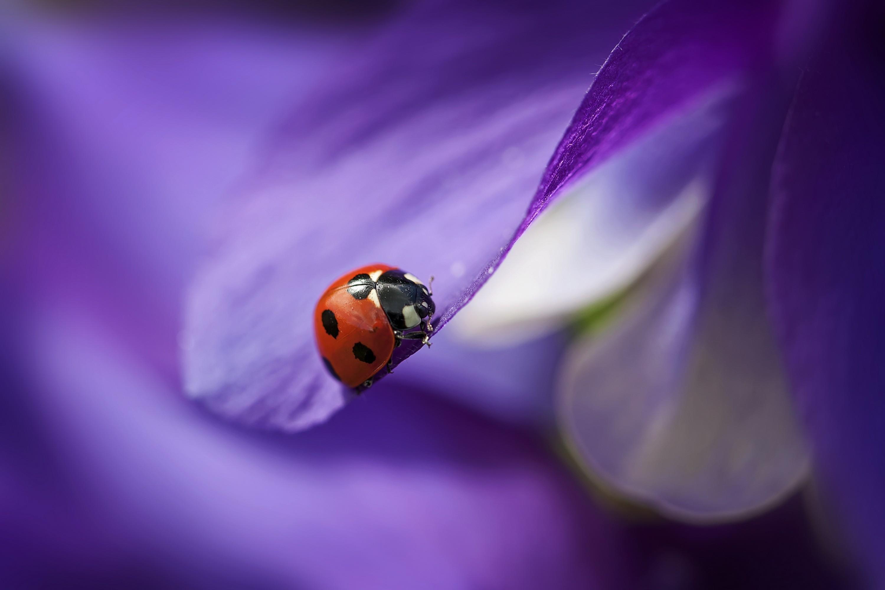 природа божья коровка цветок макро насекомое животное  № 3856272 бесплатно