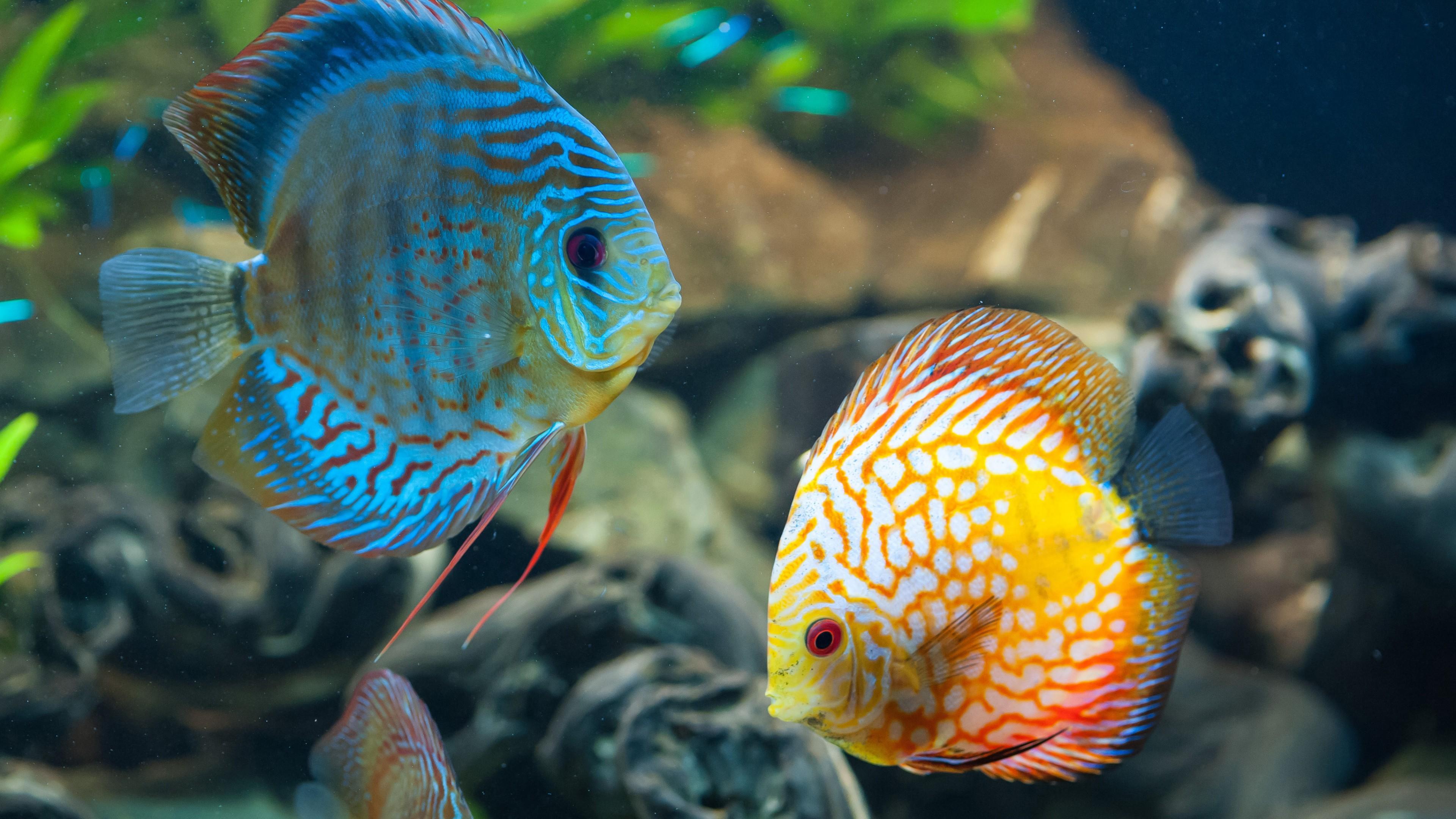 Обои Аквариум, рыбка. Животные foto 18