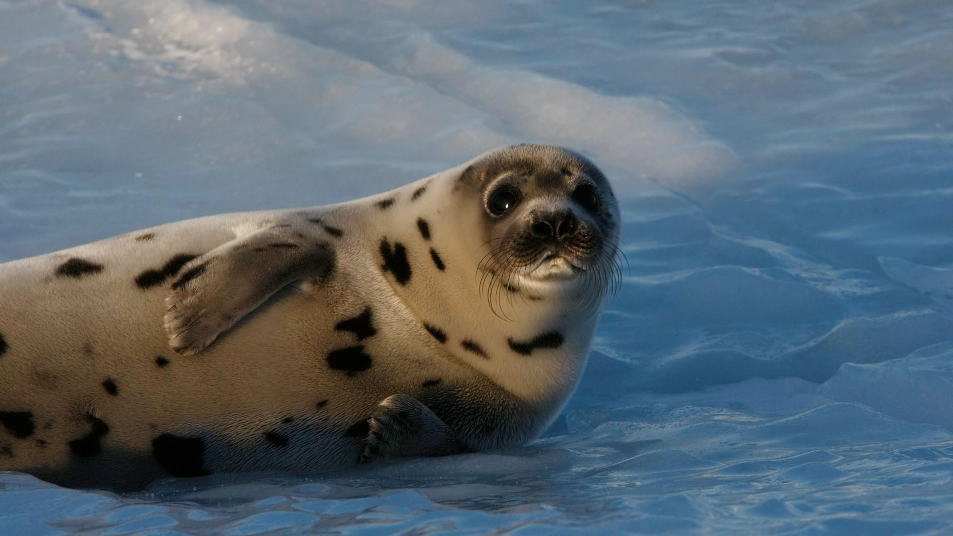 как выглядит тюлень картинка навело