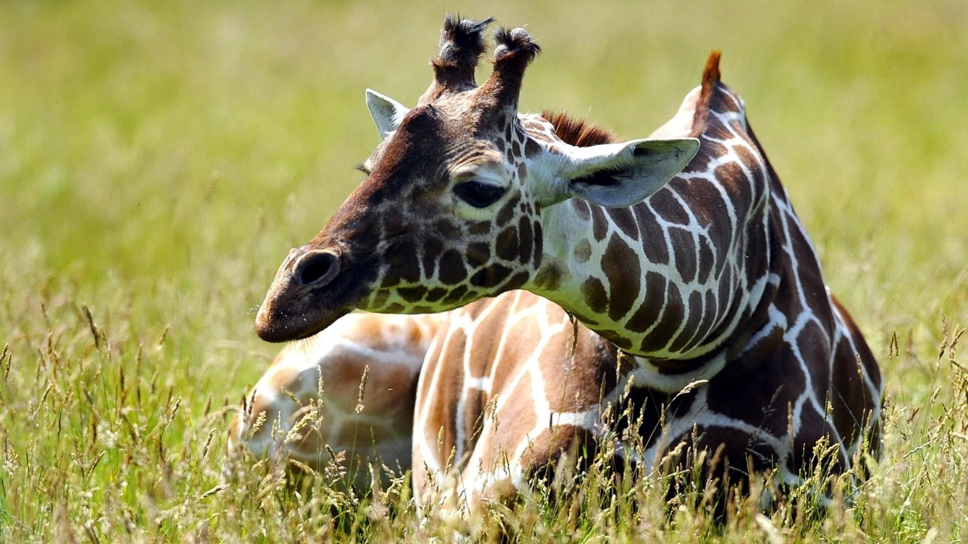дикие милые животные фото сибирского хаски очаровательны