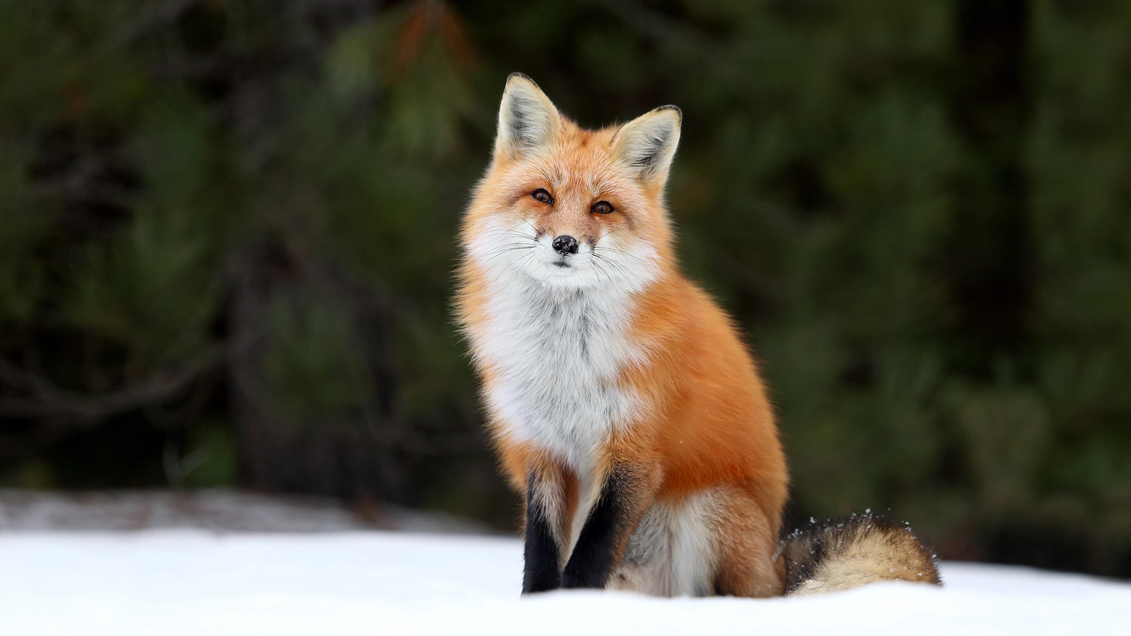 Обои Fox. Лисы foto 17