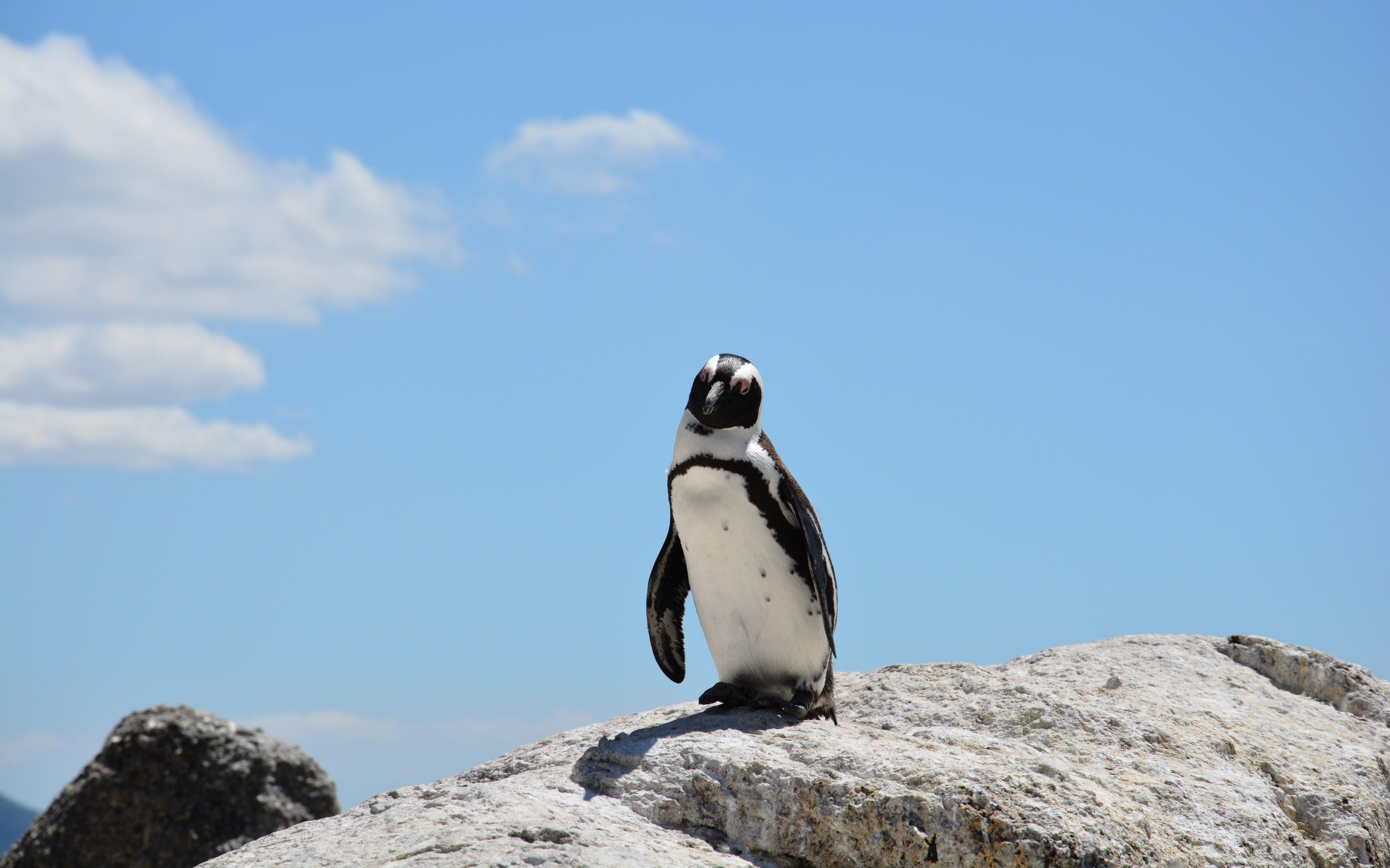 Пингвины на камушках  № 2020606  скачать