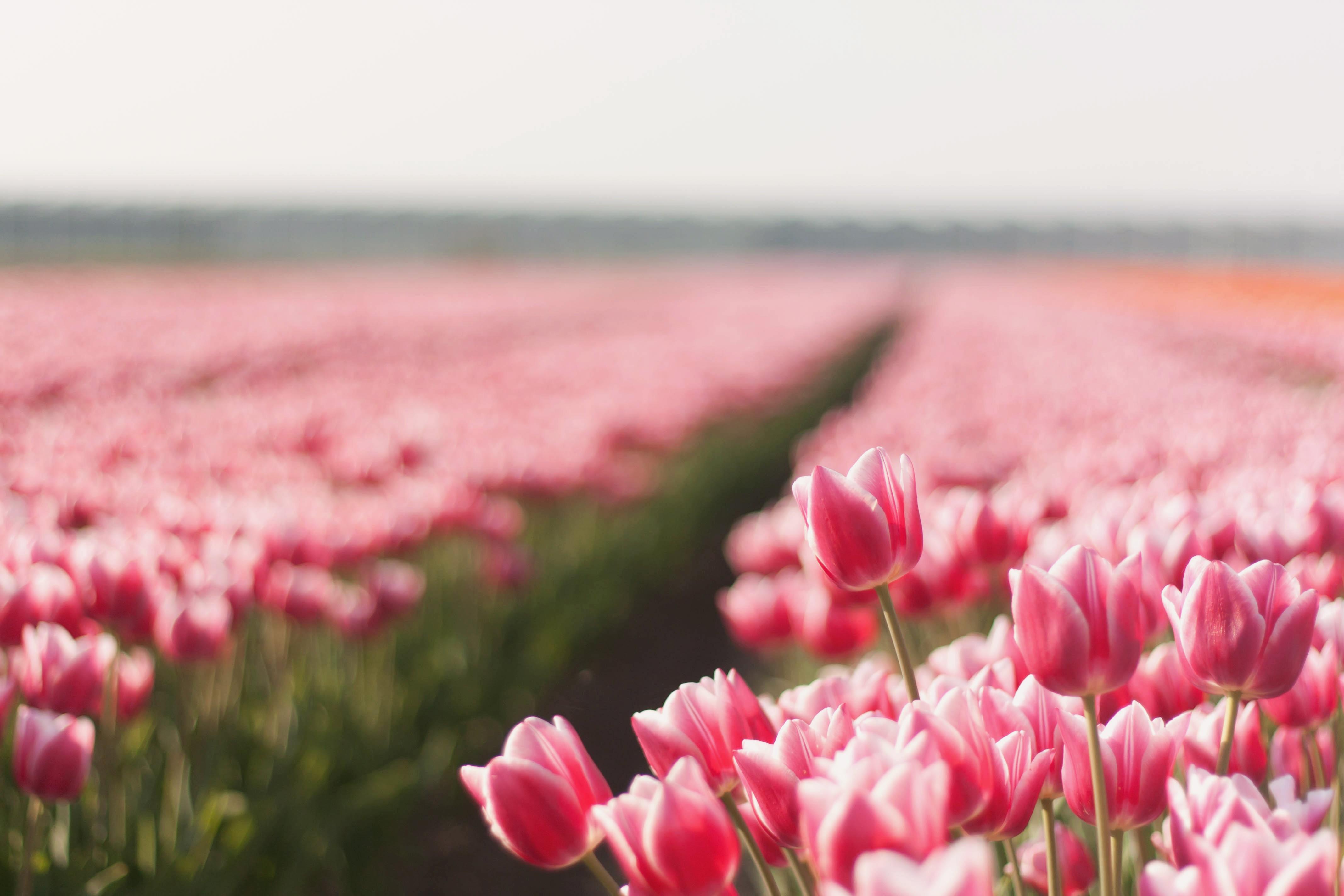 поляна цветы тюльпаны небо деревья загрузить