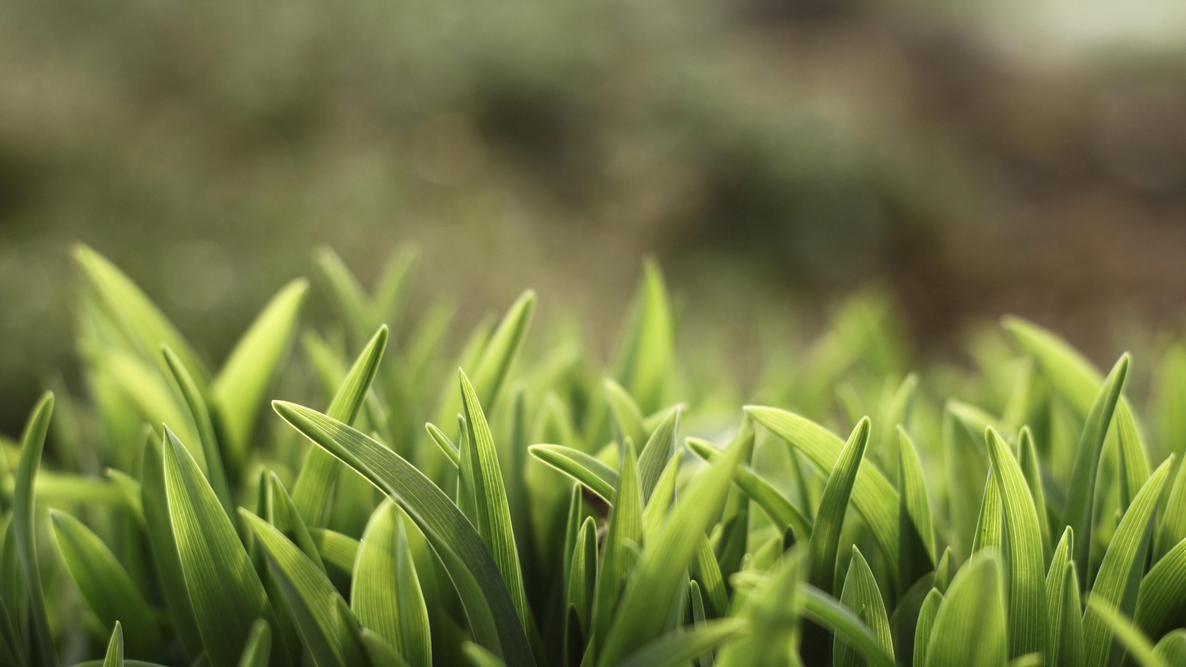 Обои Зеленая трава, 5k, 4k, макро, Green Grass, 5k, 4k